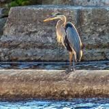 Heron At Old Mill Channel DSCN37226