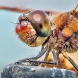 Dragonfly Head DSCN37826-7
