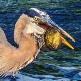 Heron With A Catch DSCN37721 (Crop)