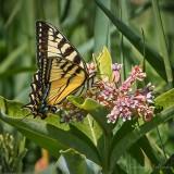 Tiger Swallowtail On A Milkweed Flower DSCF32025
