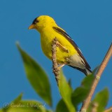 Goldfinch Atop A Tree DSCN37835