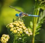 Dragonfly On A Yellow Wildflower DSCF32108