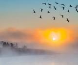 Geese Flying Above Sunrise Fog P1430402-5