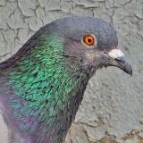Pigeon Head DSCF32540