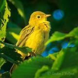 Yellow Warbler DSCF32585
