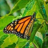 Monarch Butterfly DSCF32697