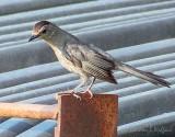 Catbird On A Dumpster DSCF32847