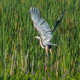 Heron Taking Flight DSCF32926