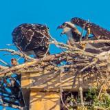 Osprey Chick With Attitude DSCF32863-4