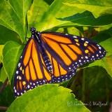 Monarch Butterfly DSCF32711