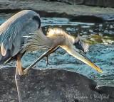 Heron Scratching An Itch DSCF32897 (crop)
