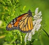 Monarch Butterfly On Queen Anne's Lace DSCF33072,4