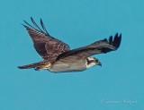 Osprey In Flight DSCF33032