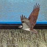 Osprey In Flight DSCF32932
