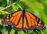 Male Monarch Butterfly DSCN38107
