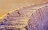 Heron On An Overflow Dam At Sunrise P1440193