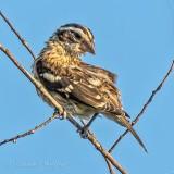 Juvenile Rose-breasted Grosbeak DSCN38333