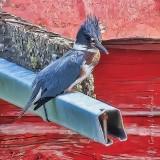 Kingfisher DSCN38522