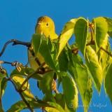Peekaboo Yellow Warbler DSCN38645