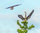 Heron Warning Off Osprey DSCN38815