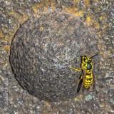 Yellow Jacket On A Rusty Rivet DSCN38971