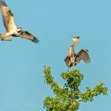 Osprey vs Great Blue Heron DSCN39094
