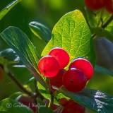 Backlit Red Berries P1000026