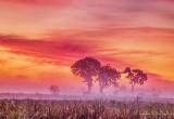 Three Trees In Sunrise Ground Fog P1000615-7