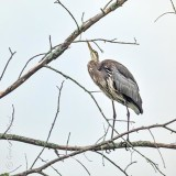 Heron Looking Up P1000854