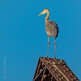 Heron Atop A Bridge Railing P1000988