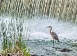 Heron Beside Falls P1010083