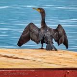 Cormorant Drying Its Wings P1000413