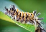 Milkweed Tussock Moth Caterpillar DSCN00234-5