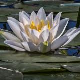 Water Lily DSCN00196-8