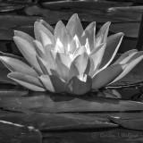 Water Lily DSCN00196-8BW