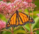 Monarch Butterfly On Joe Pye Weed DSCN00348