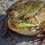 Little Bullfrog P1010564