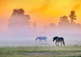 Horses In Sunrise Ground Fog P1450166-72