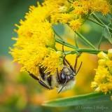 Bee Sleeping Under Goldenrod DSCN01200