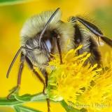 Bee Sleeping Under Goldenrod DSCN01200 (C&R)