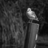 Gull On A Channel Marker DSCN01593