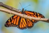 Monarch Butterfly DSCN01722
