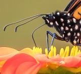 Monarch Butterfly DSCN02014 (crop)