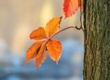 Autumn Ivy Leaves P1460662