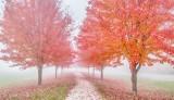Autumn Trees In Fog P1470799-05