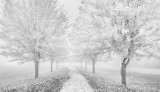 Autumn Trees In Fog P1470799-05BW