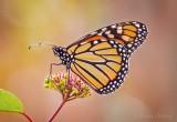 Monarch Butterfly DSCN01986