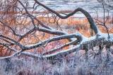 Snowy Fallen Tree P1490351-7