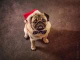 Tater, the Pug Christmas Elf (P1010966)