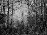 Birches DSCN07342 'B&W'